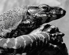 Free Lizard Stock Image - 2162711