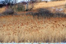 Fields Of Reeds Stock Image