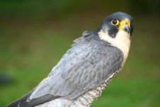 Free Peregrine Falcon Stock Photography - 2165552