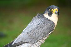 Peregrine Falcon Stock Photography