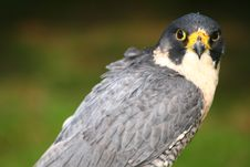 Free Peregrine Falcon Stock Photos - 2165583