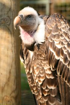 Free Griffon Vulture Stock Photography - 2165652