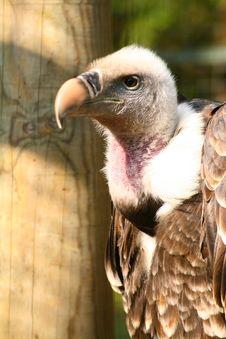 Griffon Vulture Stock Images