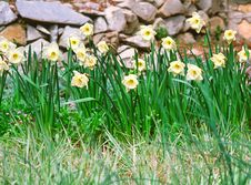 Free Flowers Narcissus Royalty Free Stock Image - 2165756
