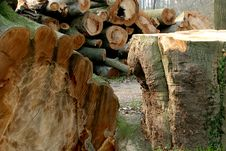 Free A Huge Sawn Tree (beech) Royalty Free Stock Photography - 2165877