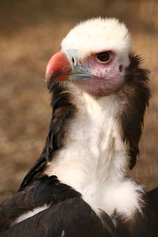 Free Vulture Royalty Free Stock Image - 2165946