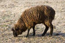 Free Black Sheep Stock Images - 2166164