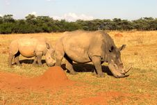 Rhinos Grazing In Dry Field. Stock Photography