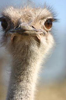 Free Curious Ostrich Stock Images - 2167124