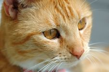 Free Pretty Yellow Cat Face Royalty Free Stock Photos - 2167358