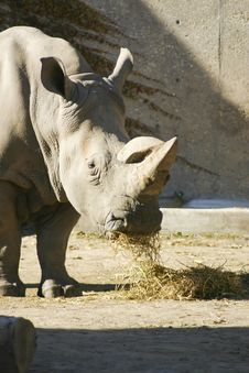 Free Rhinoceros Eating Royalty Free Stock Photos - 2167928