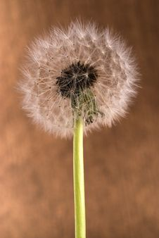Dandelion Closeup. Royalty Free Stock Image