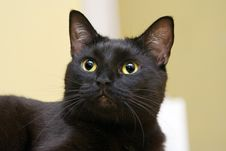 Free Black Cat S Bewitched Look Royalty Free Stock Photo - 2168985