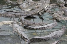 Crocodiles Stock Image