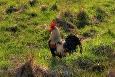 Free Rooster Stock Photos - 2169903