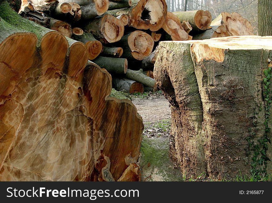 A huge sawn tree (beech)
