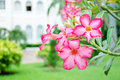 Free Pink Bignonia Flower Royalty Free Stock Images - 21609349