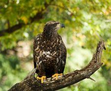 Free Injured Eagle Stock Image - 21600411