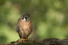 Free American Kestrel Stock Images - 21600444
