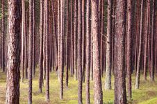 Pine Forest Trunks. Stock Photography