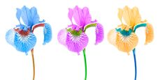 Free Creative Multicolored Iris Flowers Stock Photos - 21602373