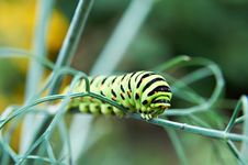 Free Caterpillar Butterfly Papilio Machaon Stock Photos - 21603023