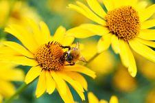 Free Bumblebee On Yellow Flower Stock Image - 21603031