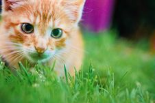 Young Kitten Is Hunting On Green Grass Stock Photo
