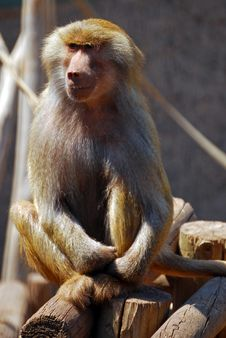 Free Baboon Monkey Stock Photography - 21603502