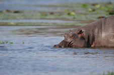 Free Hippopotamus (Hippopotamus Amphibius) Royalty Free Stock Photos - 21605748