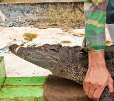 Human Catch Freshwater Crocodile. Royalty Free Stock Photos