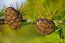 Larch Cones On Branch With Needles Stock Images