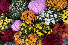 Free Beautiful Flowers Of Chrysanthemum Stock Images - 21607134