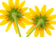 Free Two Yellow Coneflowers Royalty Free Stock Photos - 21609268