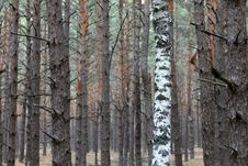 Free Pine And Birch Royalty Free Stock Photography - 21610457
