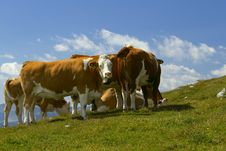 Free The Group Of Cows Royalty Free Stock Photography - 21610817