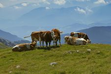 The Group Of Cows (valley In Background) Stock Image