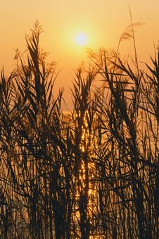 Free Reed In Sunset (Lago Di Garda) Stock Photo - 21610900