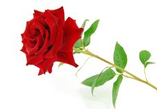 Free Red Rose On The White Royalty Free Stock Photo - 21616055