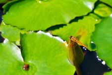 Dragonfly On Lotus Bud Stock Photos