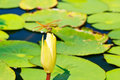 Free Dragonfly On Lotus Bud 2 Stock Images - 21620914