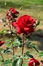 Free Rose Stock Photos - 21623953