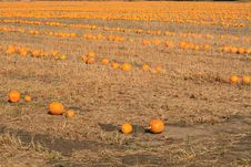Pumpkins In The Field Stock Images