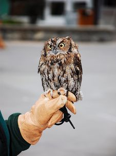 Little Brown Screech Owl Royalty Free Stock Images