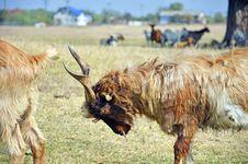 Free Pushing Goat Stock Photography - 21628452