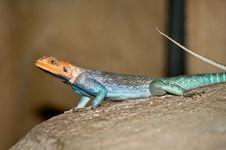 Free Common Agama Lizard Stock Photo - 21628650