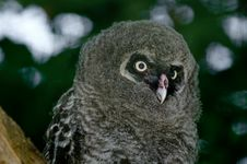 Free Great Grey Owl Chick Stock Image - 21628731