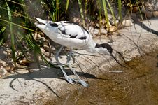 Free Pied Avocet Foraging For Food Stock Images - 21628774