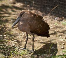 Free Hammerhead Stork Stock Photos - 21628793