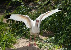 Free American White Ibis With Spread Wings Stock Images - 21628854